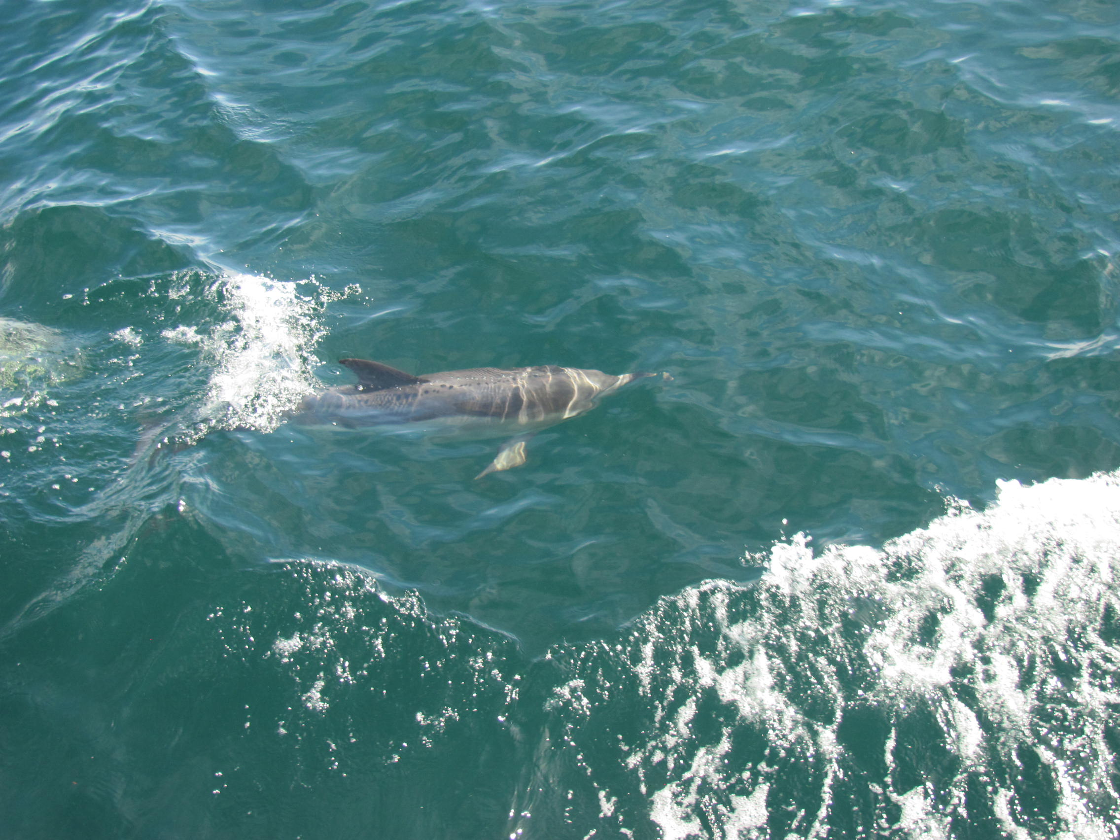 Lot of dophins seen on RI Charter Boat Misty 2